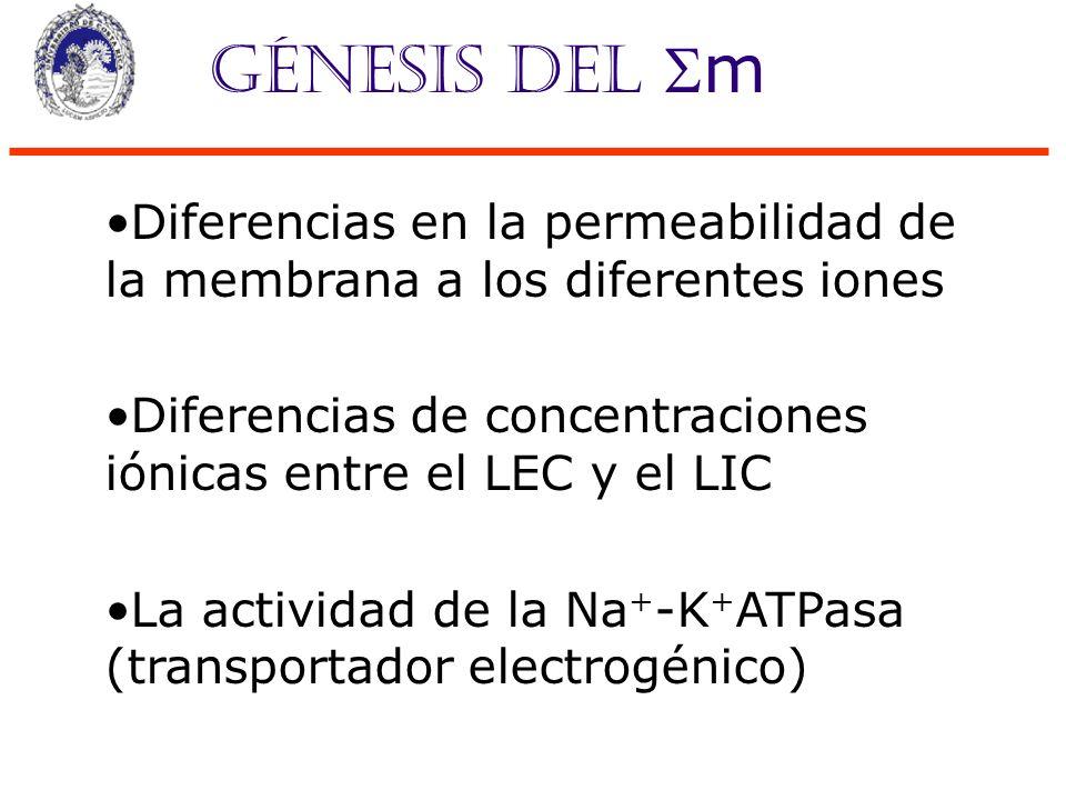 Génesis del m Diferencias en la permeabilidad de la membrana a los diferentes iones. Diferencias de concentraciones iónicas entre el LEC y el LIC.