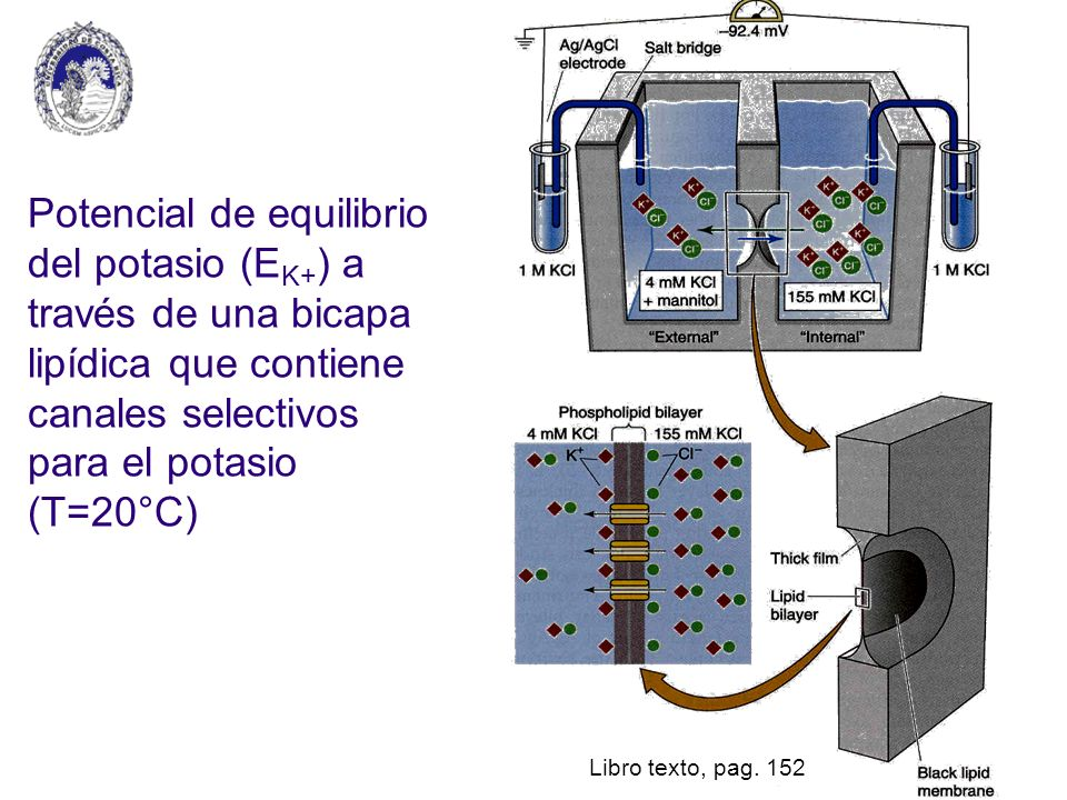 Potencial de equilibrio del potasio (EK+) a través de una bicapa lipídica que contiene canales selectivos para el potasio (T=20°C)