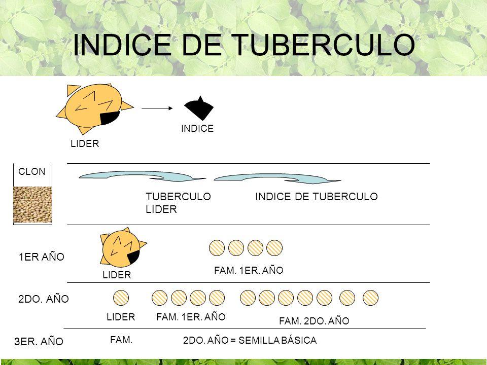 INDICE DE TUBERCULO TUBERCULO LIDER INDICE DE TUBERCULO 1ER AÑO