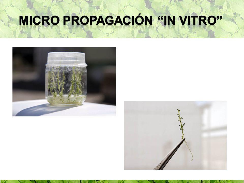 Micro propagación in vitro