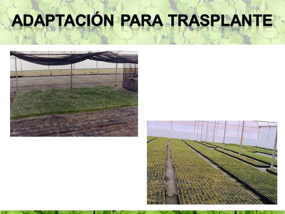adaptación para trasplante