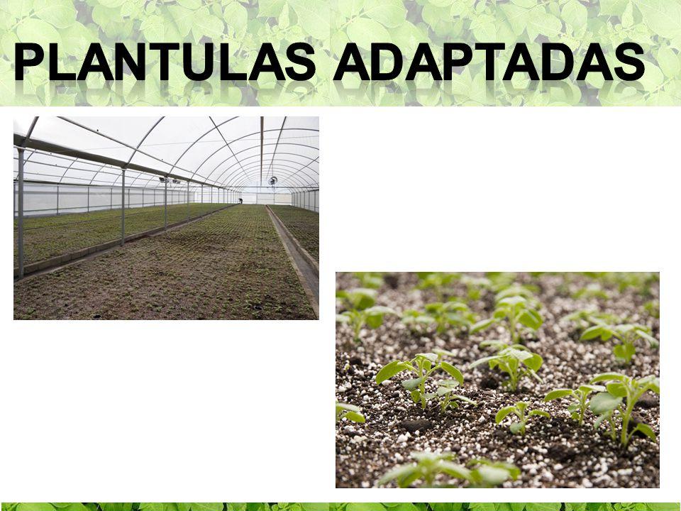 Plantulas adaptadas
