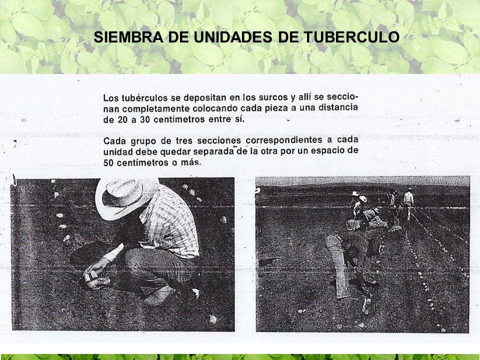 SIEMBRA DE UNIDADES DE TUBERCULO