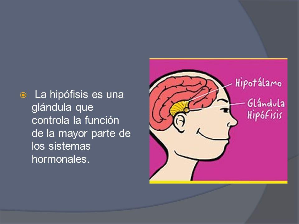 La hipófisis es una glándula que controla la función de la mayor parte de los sistemas hormonales.