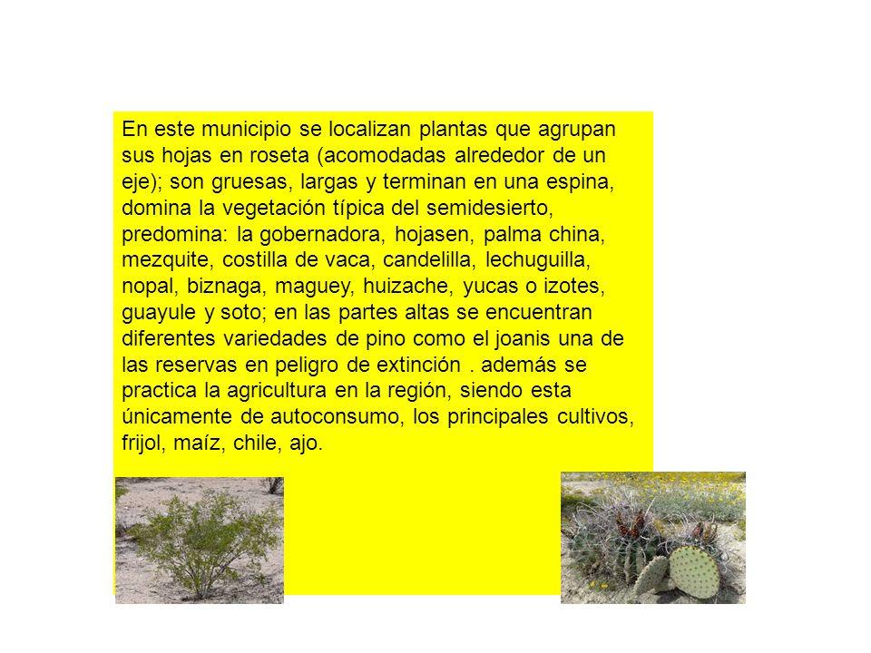 En este municipio se localizan plantas que agrupan sus hojas en roseta (acomodadas alrededor de un eje); son gruesas, largas y terminan en una espina, domina la vegetación típica del semidesierto, predomina: la gobernadora, hojasen, palma china, mezquite, costilla de vaca, candelilla, lechuguilla, nopal, biznaga, maguey, huizache, yucas o izotes, guayule y soto; en las partes altas se encuentran diferentes variedades de pino como el joanis una de las reservas en peligro de extinción .