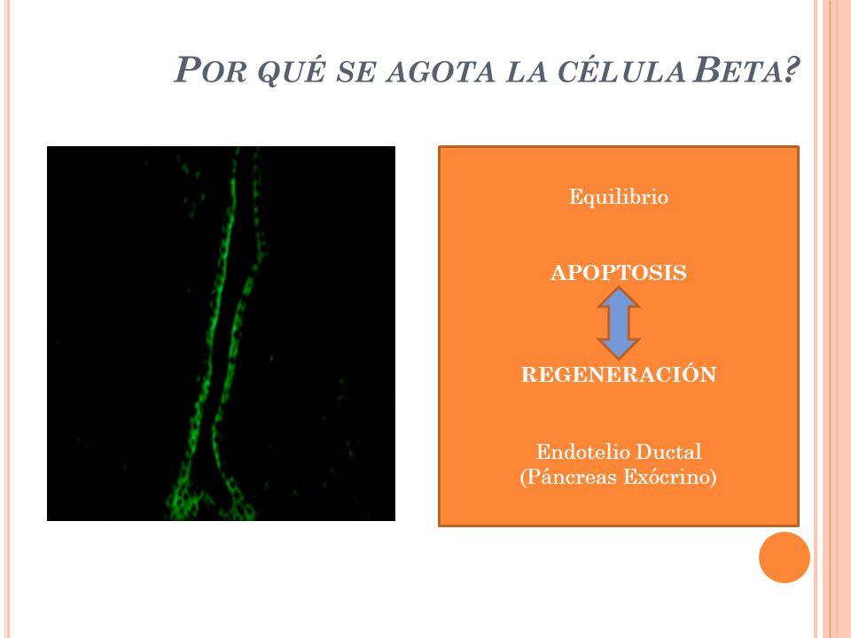 Por qué se agota la célula Beta