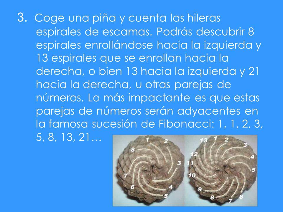 3. Coge una piña y cuenta las hileras espirales de escamas