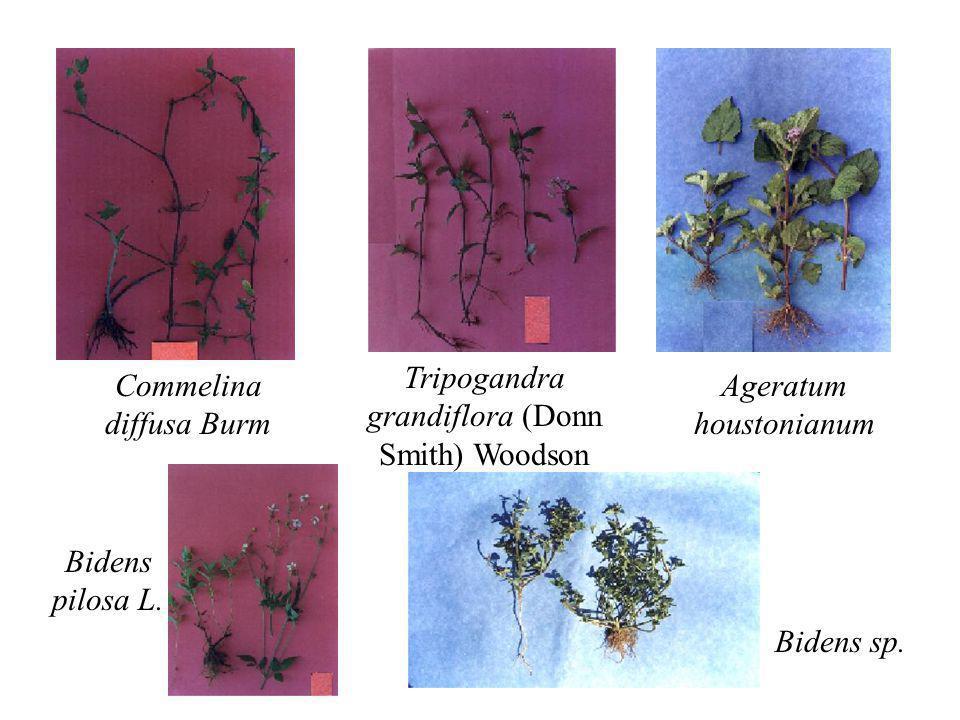 Tripogandra grandiflora (Donn Smith) Woodson Commelina diffusa Burm