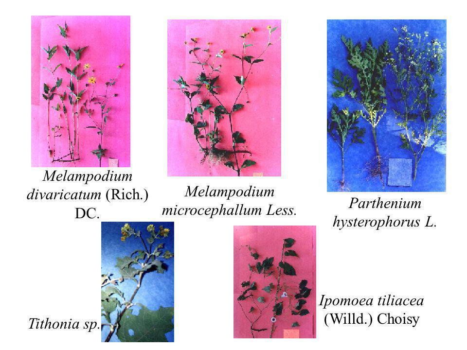 Melampodium divaricatum (Rich.) DC. Melampodium microcephallum Less.