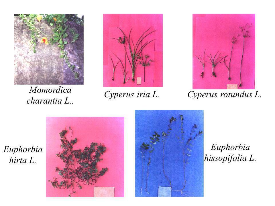 Euphorbia hissopifolia L.