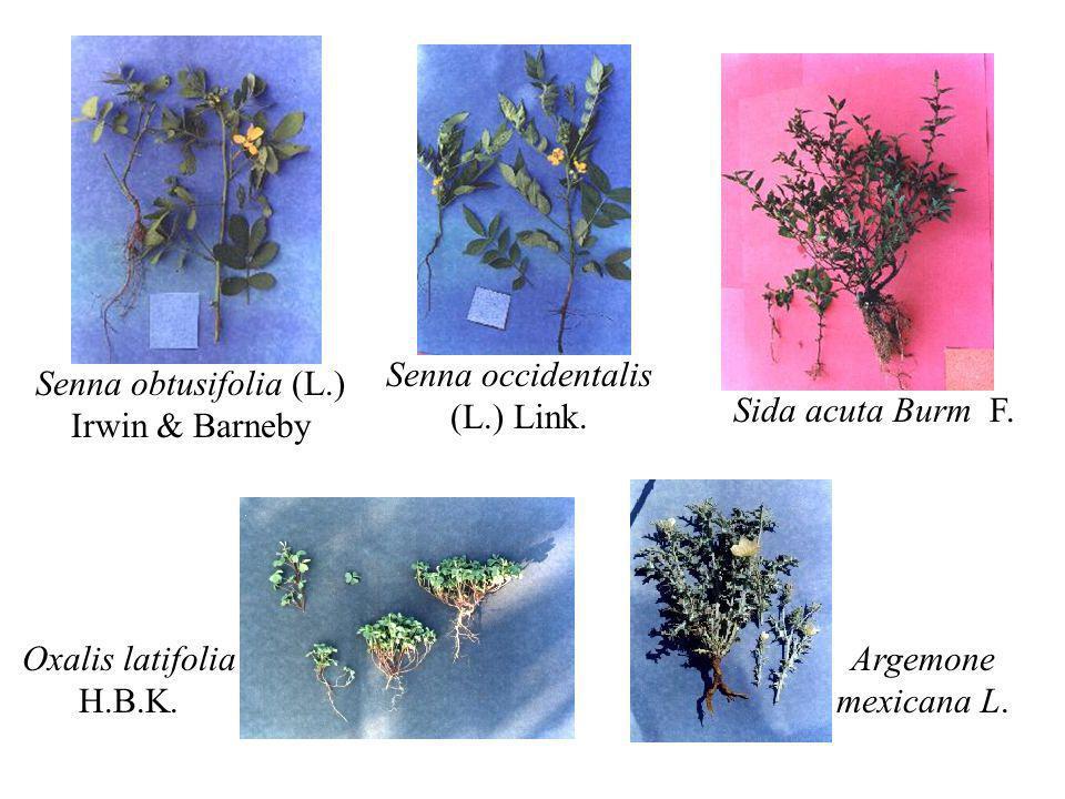 Senna occidentalis (L.) Link. Senna obtusifolia (L.) Irwin & Barneby