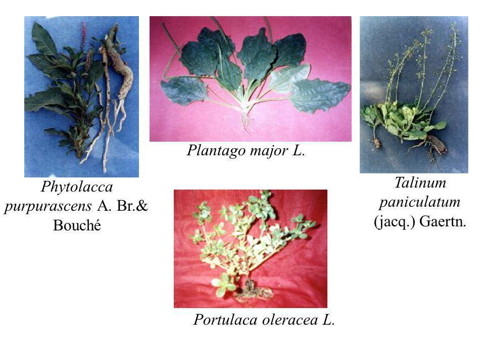 Talinum paniculatum (jacq.) Gaertn.