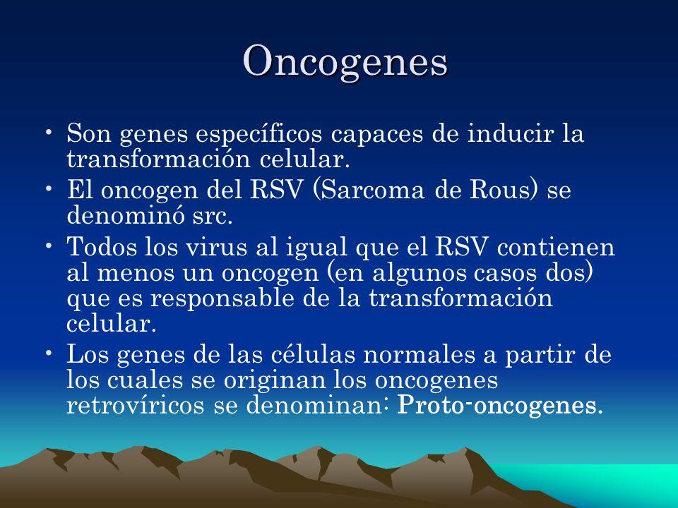 Oncogenes Son genes específicos capaces de inducir la transformación celular. El oncogen del RSV (Sarcoma de Rous) se denominó src.