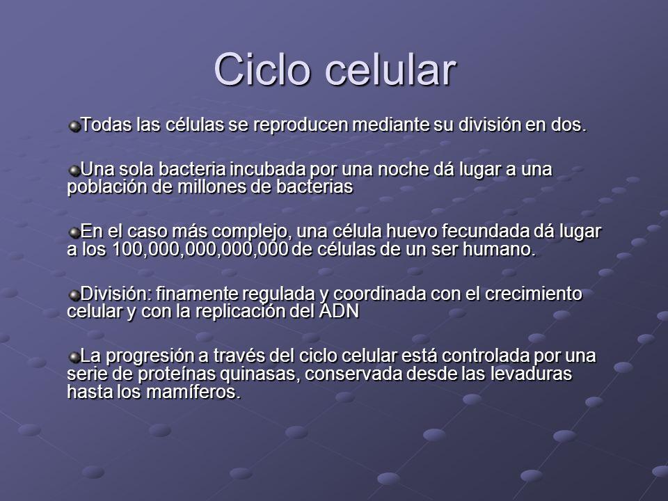 Ciclo celular Todas las células se reproducen mediante su división en dos.