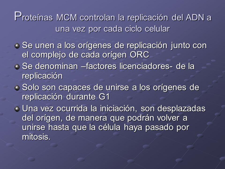 Proteínas MCM controlan la replicación del ADN a una vez por cada ciclo celular