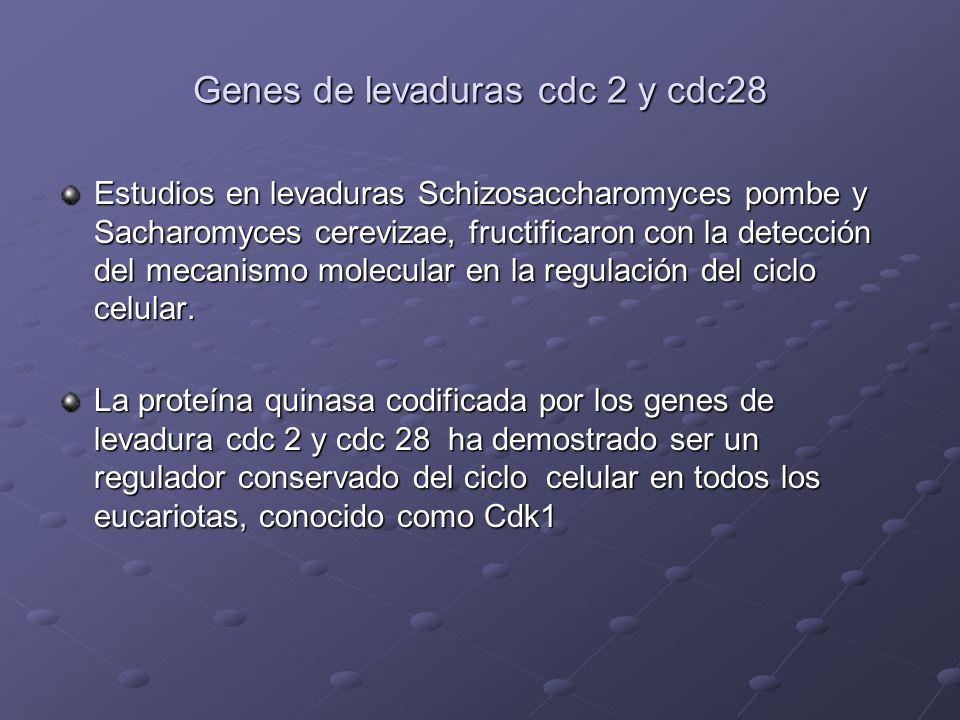 Genes de levaduras cdc 2 y cdc28