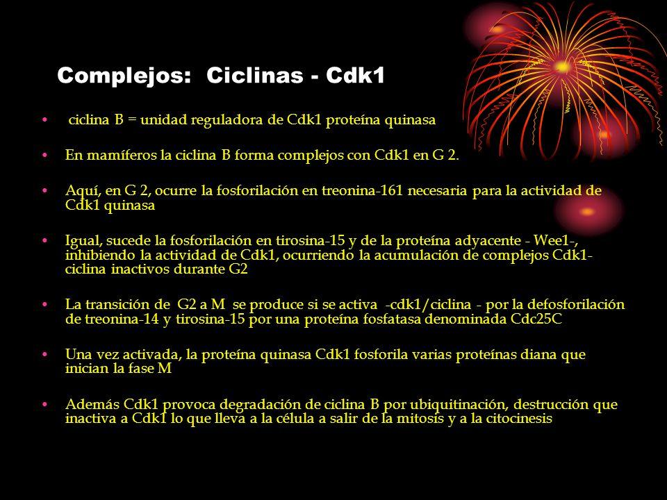 Complejos: Ciclinas - Cdk1