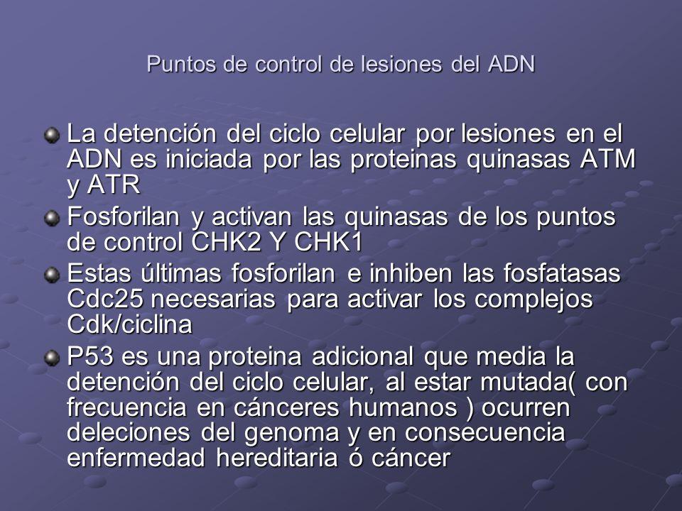 Puntos de control de lesiones del ADN