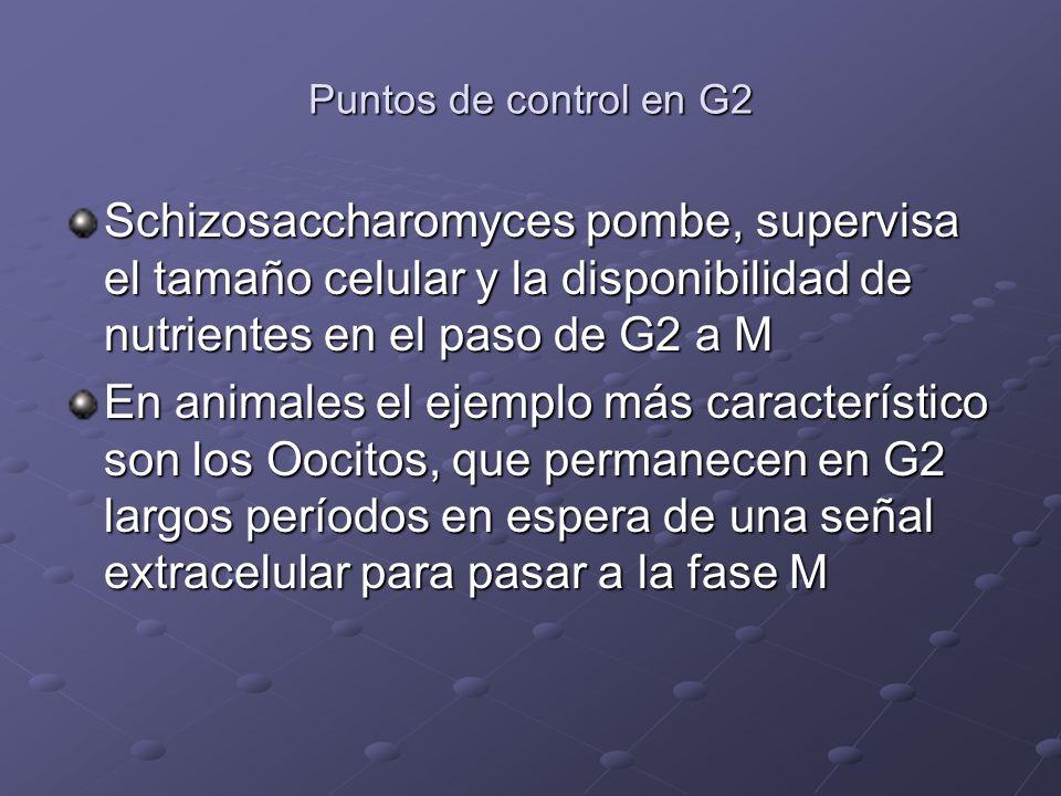 Puntos de control en G2 Schizosaccharomyces pombe, supervisa el tamaño celular y la disponibilidad de nutrientes en el paso de G2 a M.