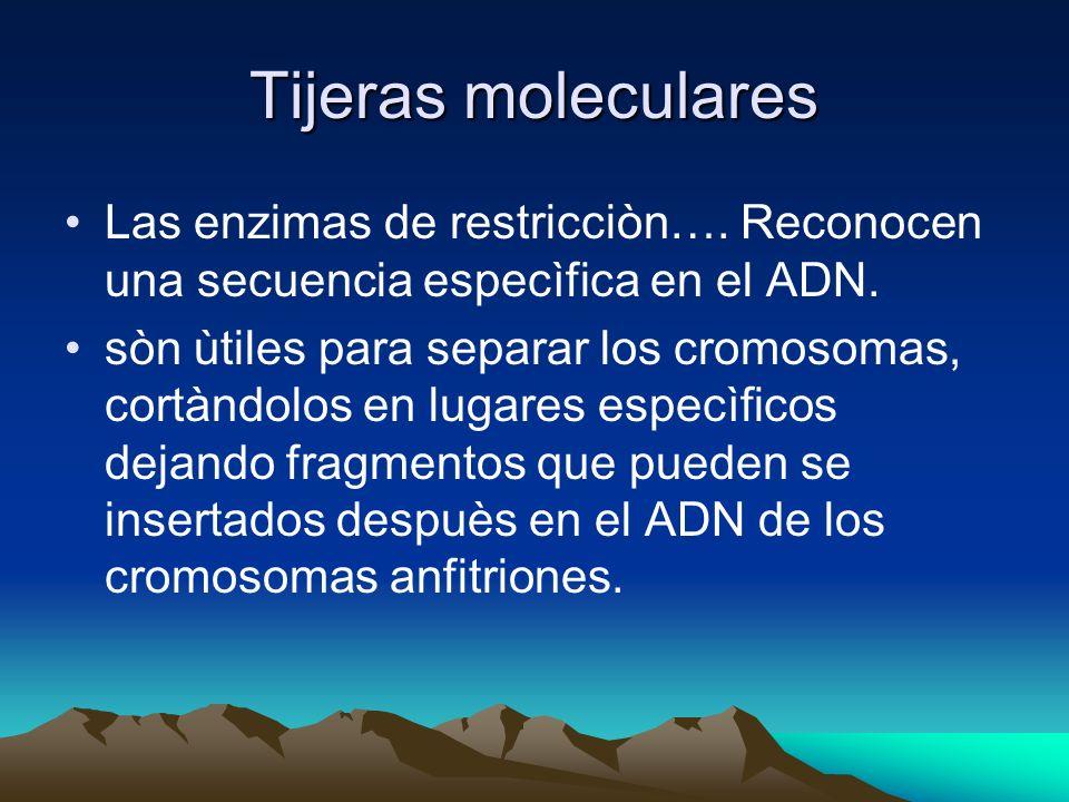 Tijeras molecularesLas enzimas de restricciòn…. Reconocen una secuencia especìfica en el ADN.