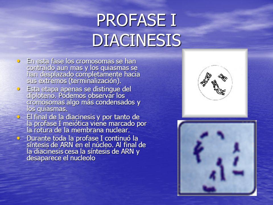PROFASE I DIACINESIS