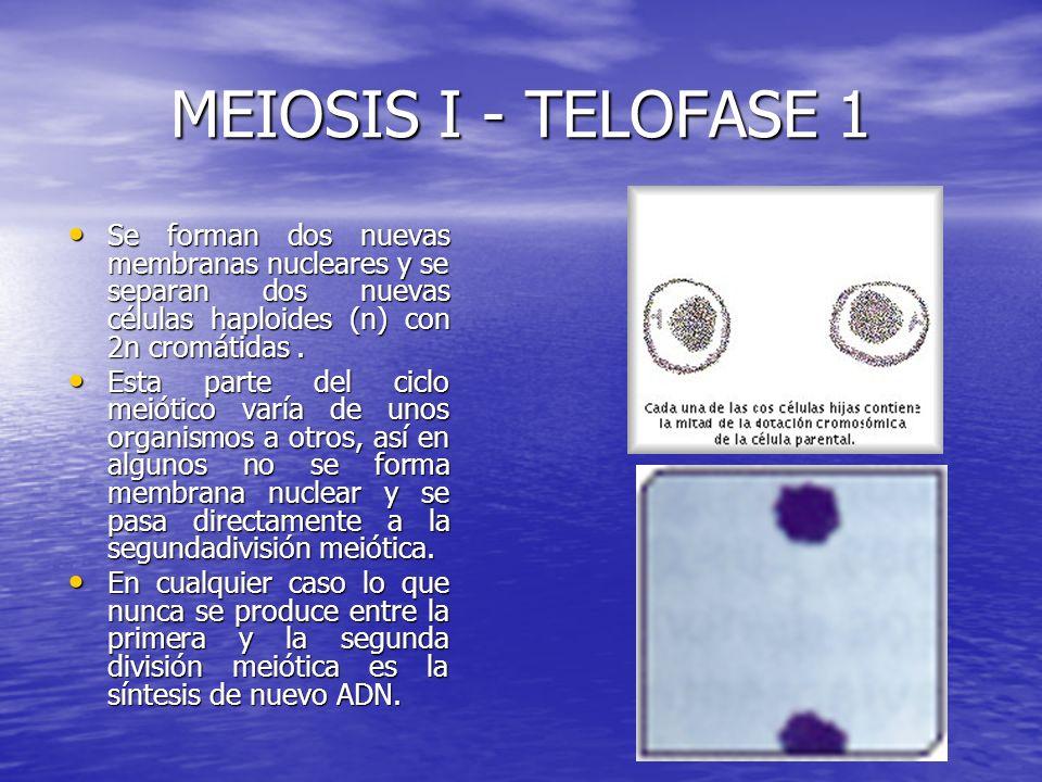 MEIOSIS I - TELOFASE 1 Se forman dos nuevas membranas nucleares y se separan dos nuevas células haploides (n) con 2n cromátidas .