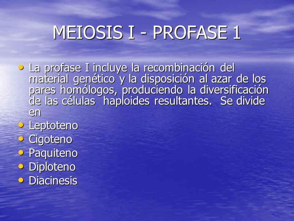 MEIOSIS I - PROFASE 1