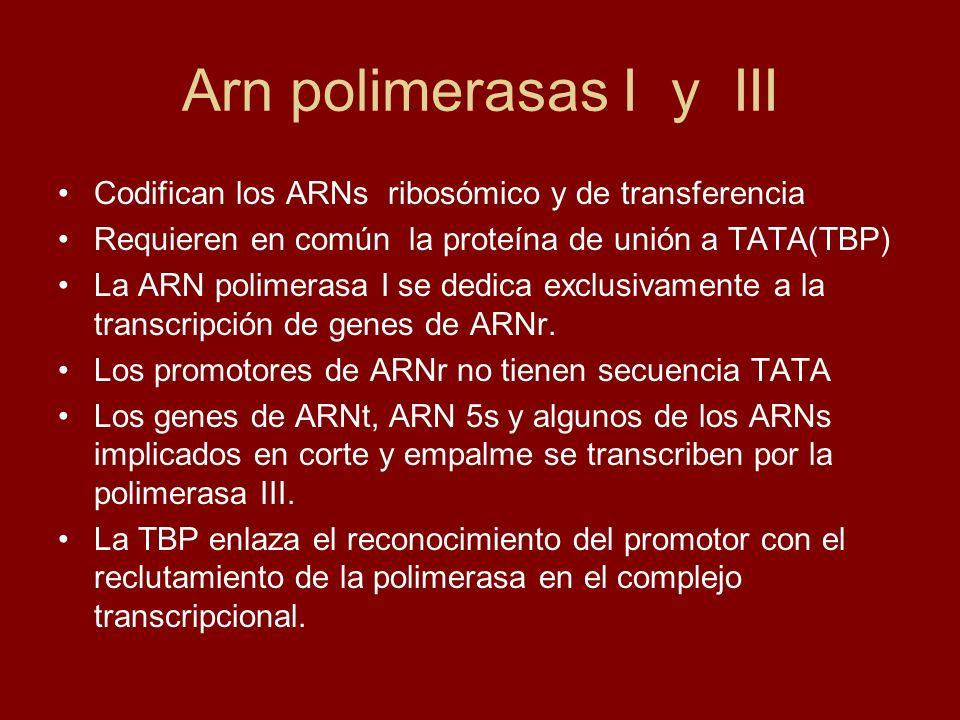 Arn polimerasas I y III Codifican los ARNs ribosómico y de transferencia. Requieren en común la proteína de unión a TATA(TBP)