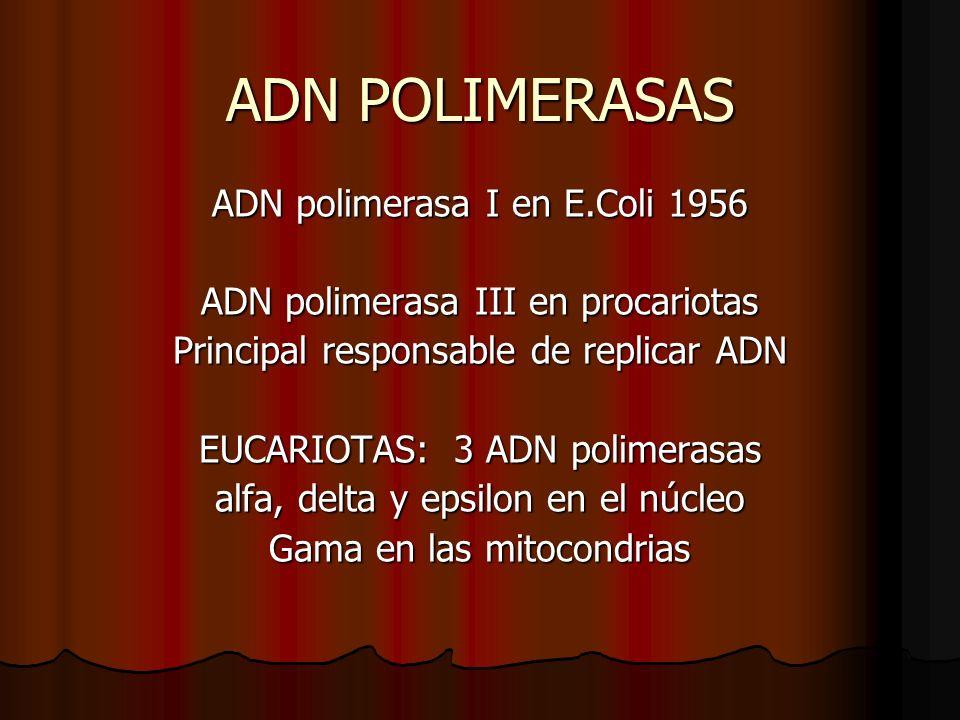 ADN POLIMERASAS ADN polimerasa I en E.Coli 1956