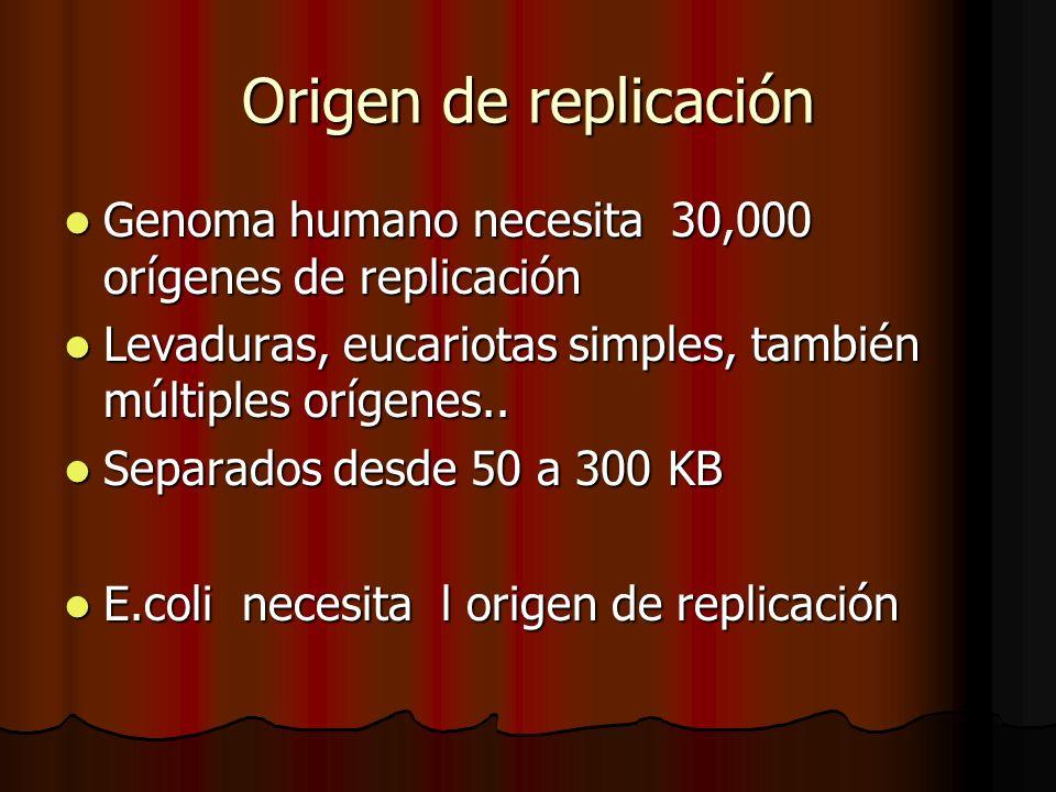 Origen de replicación Genoma humano necesita 30,000 orígenes de replicación. Levaduras, eucariotas simples, también múltiples orígenes..