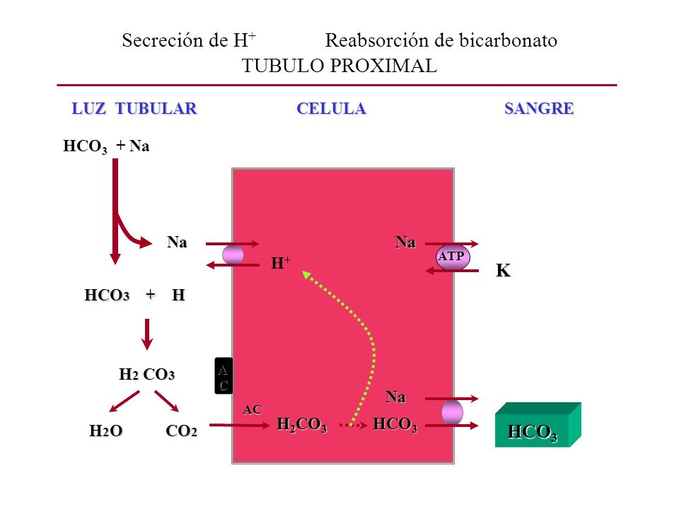 Secreción de H+ Reabsorción de bicarbonato TUBULO PROXIMAL