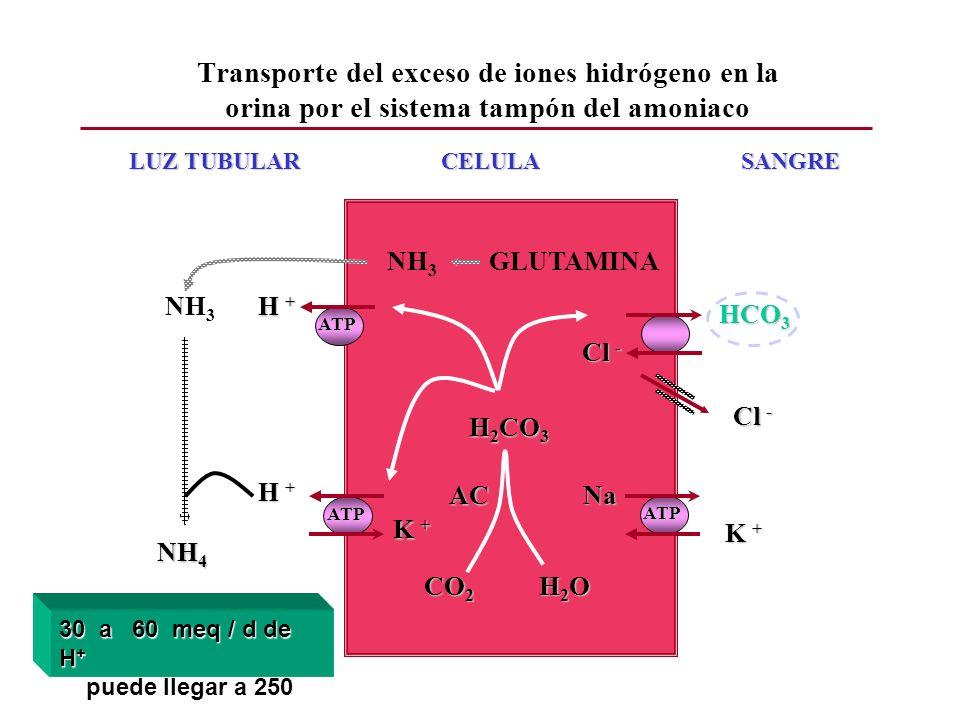 Transporte del exceso de iones hidrógeno en la orina por el sistema tampón del amoniaco
