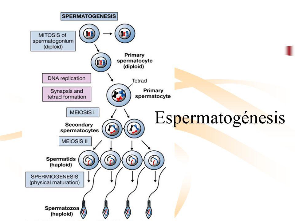 Espermatogénesis Dr. Pedro G. Cabrera J.