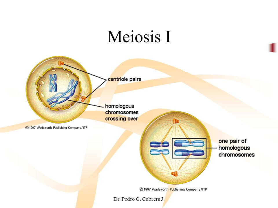 Meiosis I Dr. Pedro G. Cabrera J.
