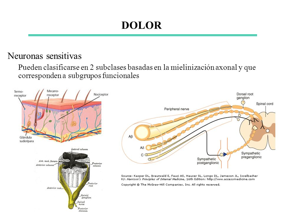 DOLOR Neuronas sensitivas