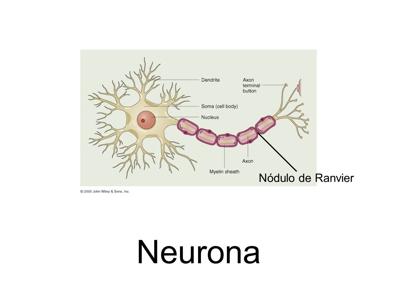 Nódulo de Ranvier Neurona
