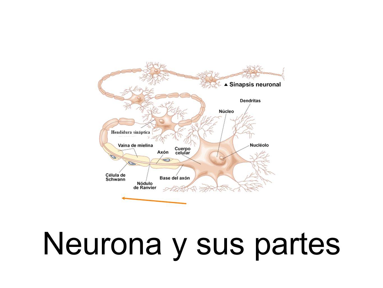 Hendidura sináptica Neurona y sus partes