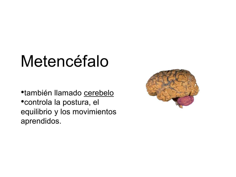 Metencéfalo también llamado cerebelo