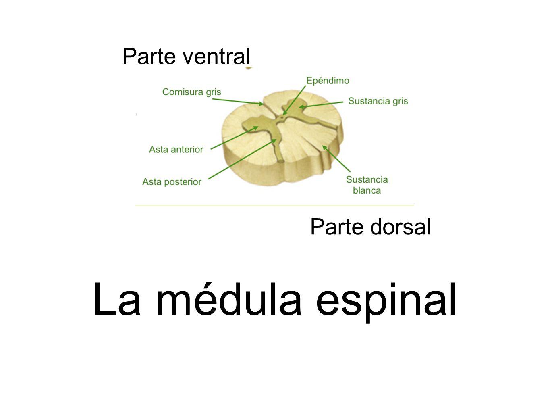 Parte ventral Parte dorsal La médula espinal