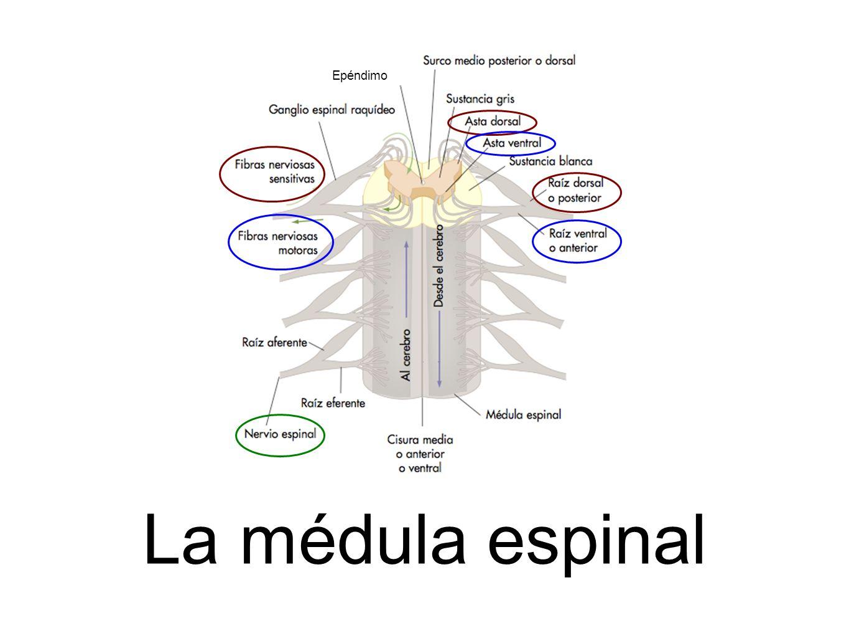 Epéndimo La médula espinal