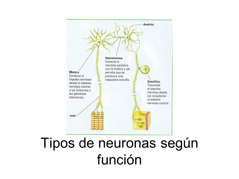 Tipos de neuronas según función