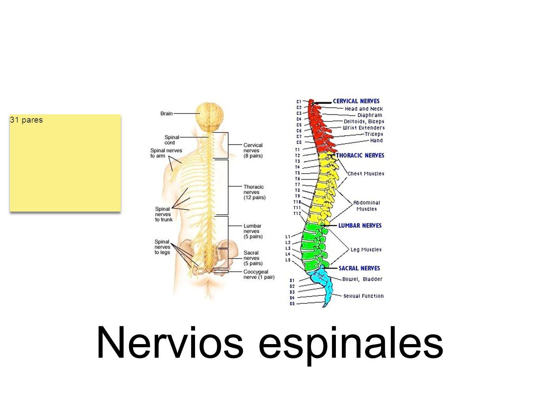 31 pares Nervios espinales