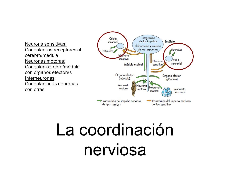 La coordinación nerviosa