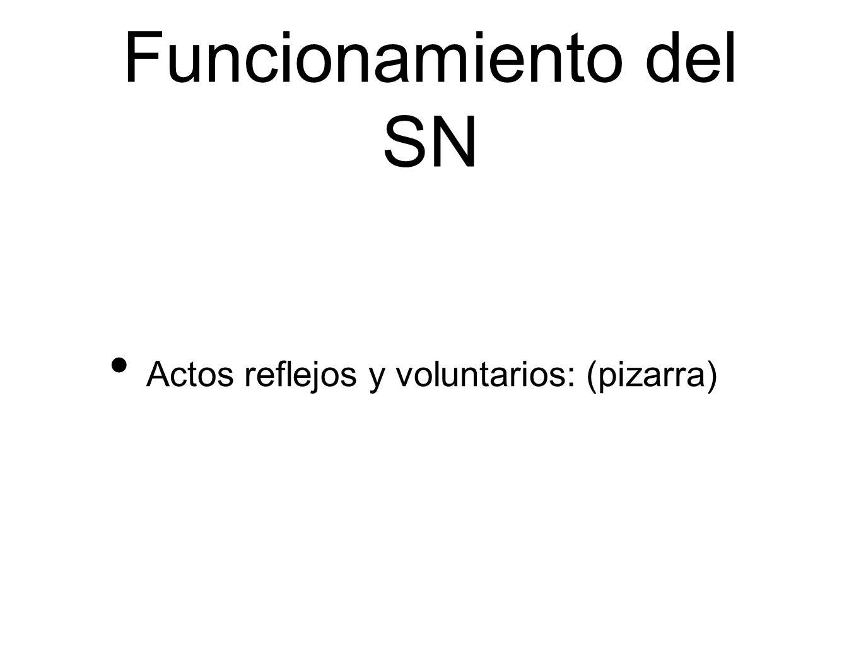 Funcionamiento del SN Actos reflejos y voluntarios: (pizarra)