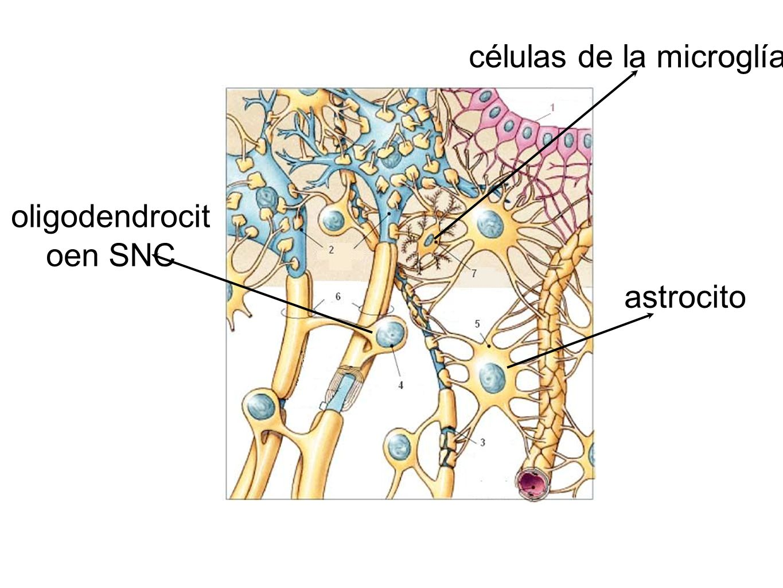 células de la microglía