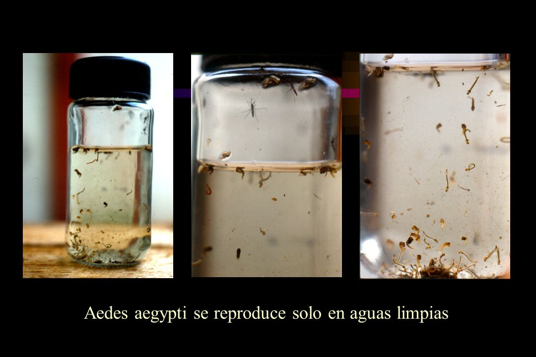Aedes aegypti se reproduce solo en aguas limpias