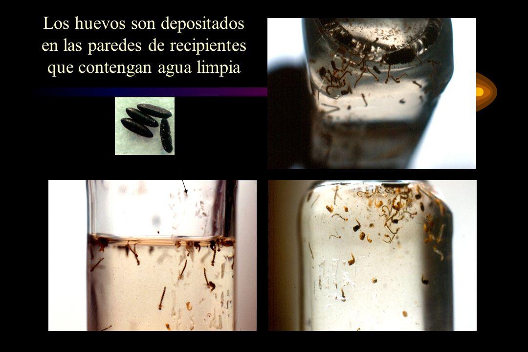 Los huevos son depositados en las paredes de recipientes que contengan agua limpia