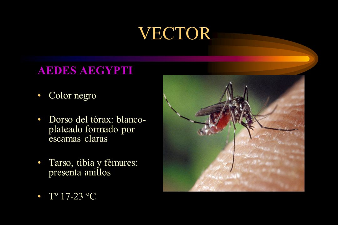 VECTOR AEDES AEGYPTI Color negro