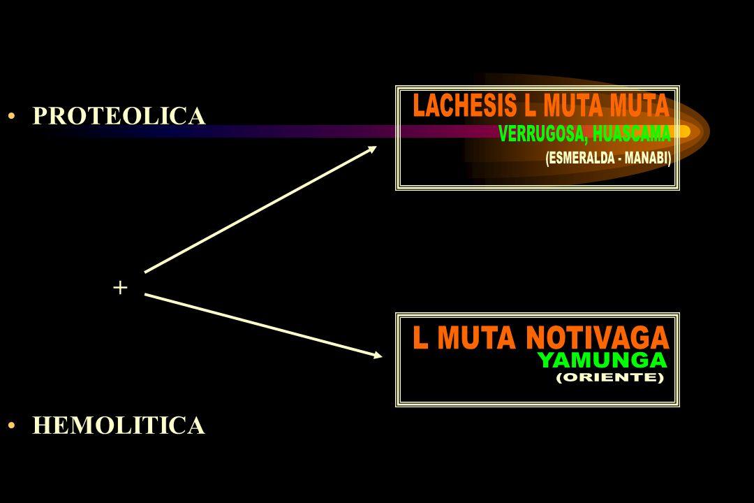 LACHESIS L MUTA MUTA PROTEOLICA. + HEMOLITICA. VERRUGOSA, HUASCAMA. (ESMERALDA - MANABI) L MUTA NOTIVAGA.