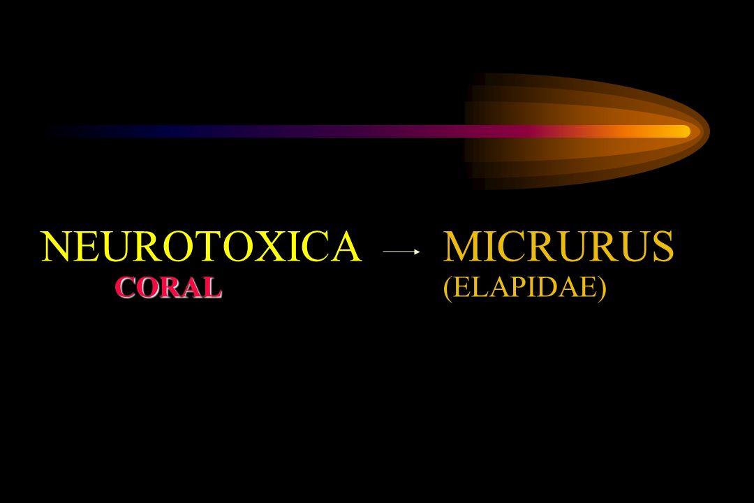 NEUROTOXICA MICRURUS CORAL (ELAPIDAE)